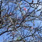 ハワイに咲くサクラ